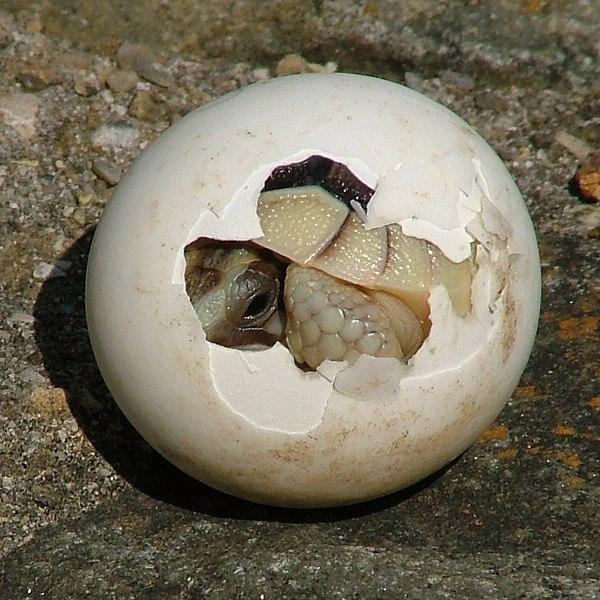 Амниоты. Вылупление черепахи из яйца
