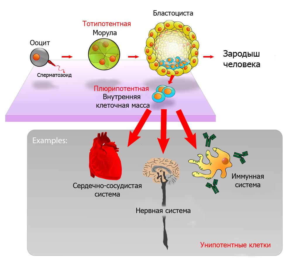 Плюрипотентные эмбриональные стволовые клетки происходят из внутренней клеточной массы внутри бластоцисты. Стволовые клетки могут стать любой тканью тела, кроме плаценты. Только клетки морулы являются тотипотентными и могут дать начало плаценте