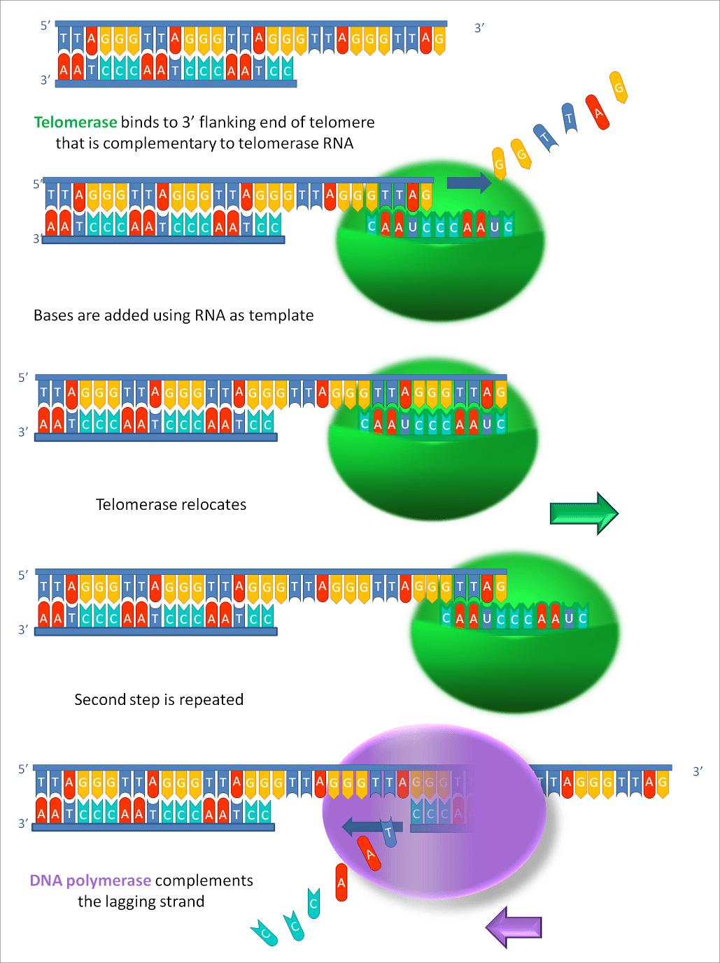 Механизм удлинения теломер в результате активности теломеразы