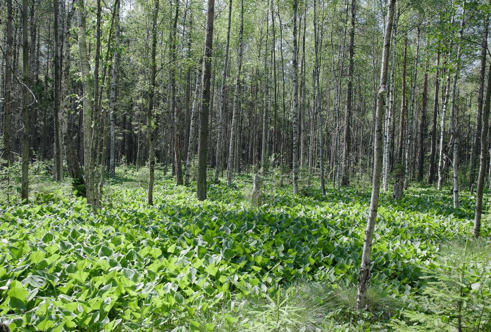 Дикий лес. Латинское болото.