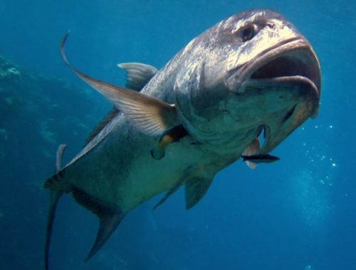 Большая рыба без языка